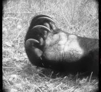 Polyphaune - Bear